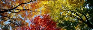Colorful Trees in Fall, Autumn, Low Angle View