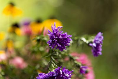 https://imgc.allpostersimages.com/img/posters/coloured-asters-in-cottage-garden_u-L-Q1EYEL40.jpg?artPerspective=n