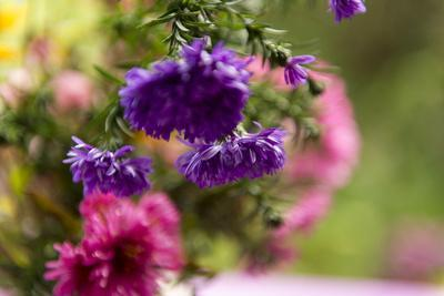 https://imgc.allpostersimages.com/img/posters/colourful-asters-in-cottage-garden_u-L-Q1EYD2U0.jpg?artPerspective=n