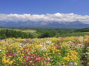 Columbines and Mt. Tokachi Range