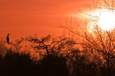 Common Cormorant Silhouetted in Tree Against Sunset