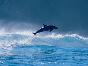 Common Dolphin Breaching in the Sea