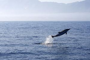 Common Dolphin Leaping Out of Water in the Strait