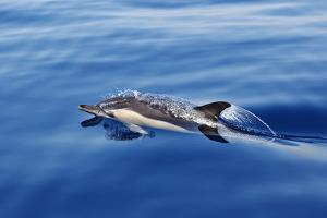 Common Dolphin Swimming in the Strait of Gibraltar