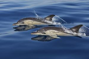 Common Dolphins Swimming in the Strait of Gibraltar