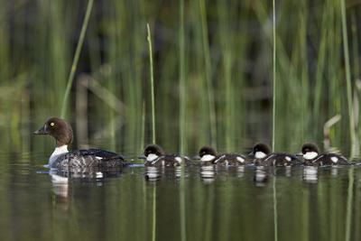 https://imgc.allpostersimages.com/img/posters/common-goldeneye-bucephala-clangula-female-swimming-with-four-chicks-british-columbia-canada_u-L-Q12SBTJ0.jpg?p=0