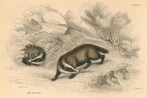 Common or Eurasian Badger (Meles Mele), 1828