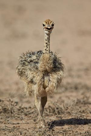 https://imgc.allpostersimages.com/img/posters/common-ostrich-struthio-camelus-chick_u-L-PWFE1J0.jpg?p=0