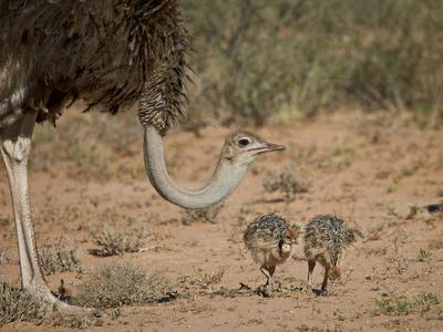 https://imgc.allpostersimages.com/img/posters/common-ostrich-struthio-camelus-female-with-two-chicks_u-L-PWFR680.jpg?p=0