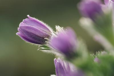 https://imgc.allpostersimages.com/img/posters/common-pasque-flower-pulsatilla-vulgaris_u-L-Q1EXKSD0.jpg?artPerspective=n