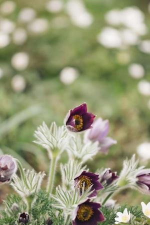 https://imgc.allpostersimages.com/img/posters/common-pasque-flower-pulsatilla-vulgaris_u-L-Q1EXQ4A0.jpg?artPerspective=n