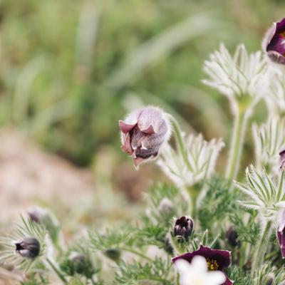 https://imgc.allpostersimages.com/img/posters/common-pasque-flower-pulsatilla-vulgaris_u-L-Q1EXQND0.jpg?artPerspective=n