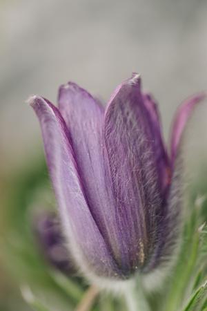 https://imgc.allpostersimages.com/img/posters/common-pasque-flower-pulsatilla-vulgaris_u-L-Q1EXQSC0.jpg?artPerspective=n