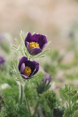 https://imgc.allpostersimages.com/img/posters/common-pasque-flower-pulsatilla-vulgaris_u-L-Q1EXR5E0.jpg?artPerspective=n