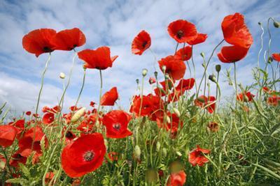 Common Poppy Growing in Oil Seed Rape Crop