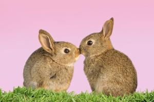 Common Rabbit Young Two Kissing with Pink Background