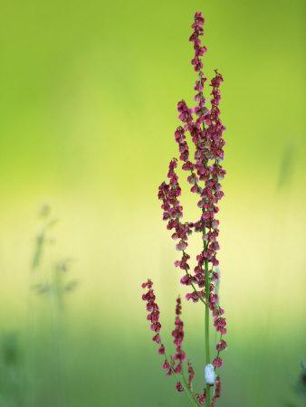https://imgc.allpostersimages.com/img/posters/common-sorrel-dock-pink-dock-flower-against-green-backdrop-middlesex-uk_u-L-Q10R0ER0.jpg?p=0