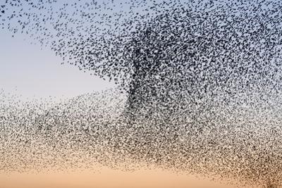 Common Starling Flock