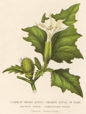 Common Thorn Apple or Thorny Apple of Peru or Devil's Apple or Jamestown / Jimson Weed