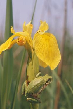 Common Treefrog on Yellow Flag