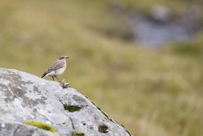 https://imgc.allpostersimages.com/img/posters/common-wheatear-oenanthe-oenanthe_u-L-Q1EY6DY0.jpg?artPerspective=n