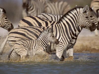 https://imgc.allpostersimages.com/img/posters/common-zebra-wading-at-waterhole-etosha-np-namibia-2006_u-L-Q10O22Y0.jpg?p=0