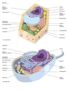 Comparative Illustration of Plant and Animal Cell Anatomy (With Labels)