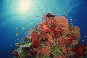 Reef Scenic of Hard Corals , Soft Corals and Tropical Fish , South Pacific by Comstock