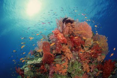 Reef Scenic of Hard Corals , Soft Corals and Tropical Fish , South Pacific