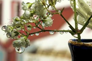 Dew Drops on Baby's Breath by Connie Publicover