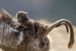 Gelada Baboon (Theropithecus Gelada) Female Carrying Baby by Constantinos Petrinos