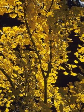 Ginkgo or Maidenhair Tree (Ginkgo Biloba) with Fall Leaves by Consumer Institute/NSIL