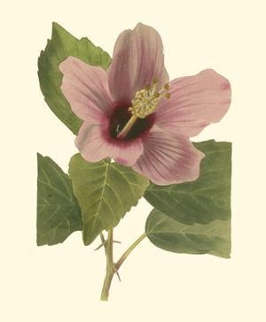 Hibiscus I by Cooke