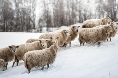 Sheep Herd Waking on Snow Field by coolbiere photograph