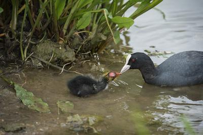 https://imgc.allpostersimages.com/img/posters/coot-fulica-young-chick-feeding-gloucestershire-england-united-kingdom_u-L-PWFSS40.jpg?artPerspective=n