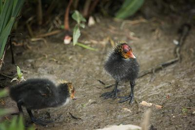https://imgc.allpostersimages.com/img/posters/coot-fulica-young-chicks-gloucestershire-england-united-kingdom_u-L-PWFS3C0.jpg?p=0