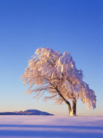 https://imgc.allpostersimages.com/img/posters/copper-beech-fagus-sylvatica-snow-covered-morning-light-leafless_u-L-Q11YXS60.jpg?artPerspective=n