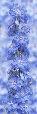 Blue Larkspur by Cora Niele