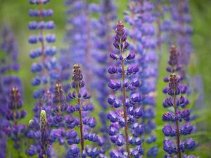 Blue Lupine Flowers by Cora Niele