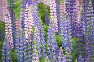 Blue Pink Lupine Field by Cora Niele