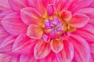 Cerise-Pink Dahlia Flower by Cora Niele