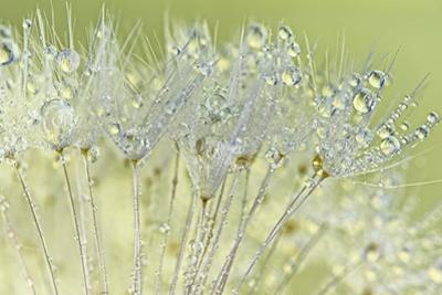 Dandelion Dew I