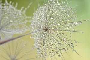 Dewy Dandelion by Cora Niele