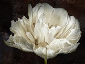 Double White Tulip by Cora Niele