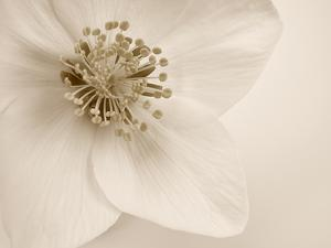 Hellebore Christmas Rose by Cora Niele