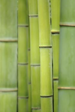 Japanese Timber Bamboo (Phyllostachys Bambusoides), May by Cora Niele