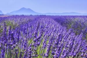 Lavender Field Close Up by Cora Niele