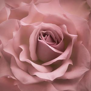 Misty Rose Pink Rose by Cora Niele