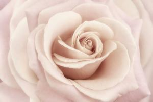 Peach Pink Rose by Cora Niele