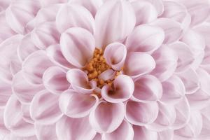 Pink Dahlia by Cora Niele